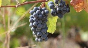 Найти виноградник можно с помощью смартфона