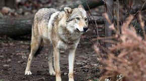 Таджикский героин в Москве сторожил волк