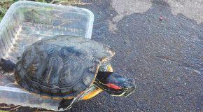 Рыбак выловил черепаху в Москва-реке