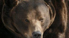 В Приморье нашествие диких медведей