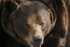 медведи в Приморье